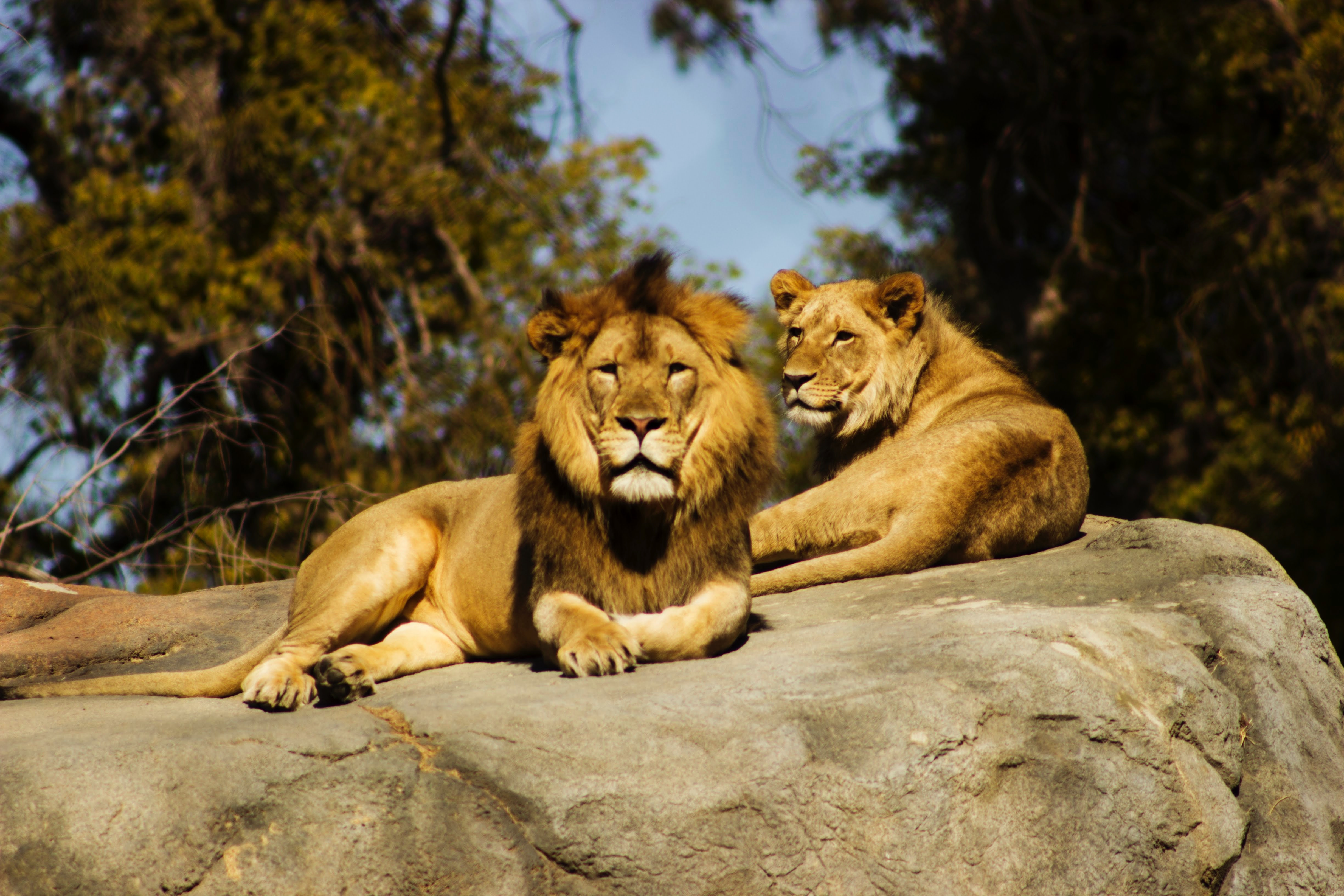 10 Amazing Facts You Didn't Know About Lions - Our Funny ...